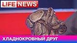 видео 8 мин. 3 сек. Правила содержания питона раздел: Новости, политика добавлено: 12 июня 2015