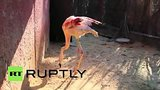 видео 1 мин. 10 сек. В Бразилии фламинго учится ходить с протезом раздел: Новости, политика добавлено: 23 июня 2015