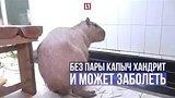 видео 1 мин. 16 сек. Капибара Капыч в активном поиске раздел: Новости, политика добавлено: 25 июля 2017