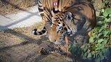 видео 1 мин. 19 сек. Три тигренка родились в крымском парке