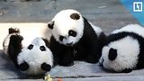 видео  Малыши-панды во Франции раздел: Новости, политика добавлено: 4 декабря 2017