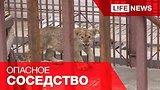 видео 2 мин. 25 сек. Лев на дачном участке под Москвой не дает спокойно жить соседям раздел: Новости, политика добавлено: 11 июля 2015
