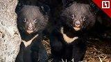 видео 16 мин. 50 сек. Малыши гималайские медвежата раздел: Новости, политика добавлено: 1 мая 2018