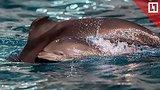 видео 1 мин. 27 сек. Малыш дельфинёнок в «Москвариуме» раздел: Новости, политика добавлено: 9 августа 2018