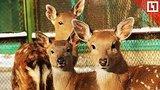 видео 22 мин. 29 сек. В пермском зоопарке родились два «Бэмби» раздел: Новости, политика добавлено: 3 сентября 2018