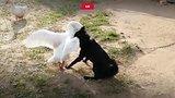 видео 58 сек. Эпичная драка гуся и собаки раздел: Новости, политика добавлено: 14 сентября 2018
