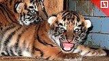 видео 58 сек. Двое тигрят родились во время гастролей цирка раздел: Новости, политика добавлено: 22 октября 2018