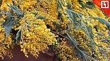 видео 41 мин. 42 сек. Очередь за цветами в Москве раздел: Новости, политика добавлено: 7 марта 2019