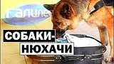 видео 5 мин. 21 сек. Галилео | Собаки-нюхачи ?? [Sniffer dogs] раздел: Технологии, наука добавлено: 10 марта 2019