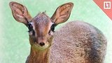 видео 13 мин. 16 сек. Детёныш мини-антилопы родился в Москве раздел: Новости, политика добавлено: 4 апреля 2019
