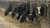 видео 21 сек. В Бельгии забивают скот, больной бычьим туберкулёзом раздел: Новости, политика добавлено: 8 августа 2015